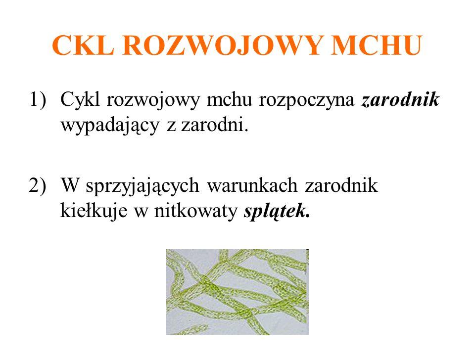 CKL ROZWOJOWY MCHU 1)Cykl rozwojowy mchu rozpoczyna zarodnik wypadający z zarodni. 2)W sprzyjających warunkach zarodnik kiełkuje w nitkowaty splątek.