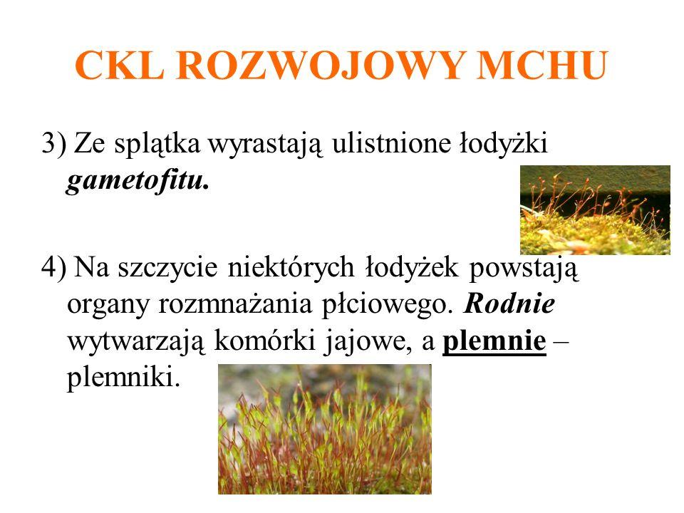 CKL ROZWOJOWY MCHU 3) Ze splątka wyrastają ulistnione łodyżki gametofitu. 4) Na szczycie niektórych łodyżek powstają organy rozmnażania płciowego. Rod