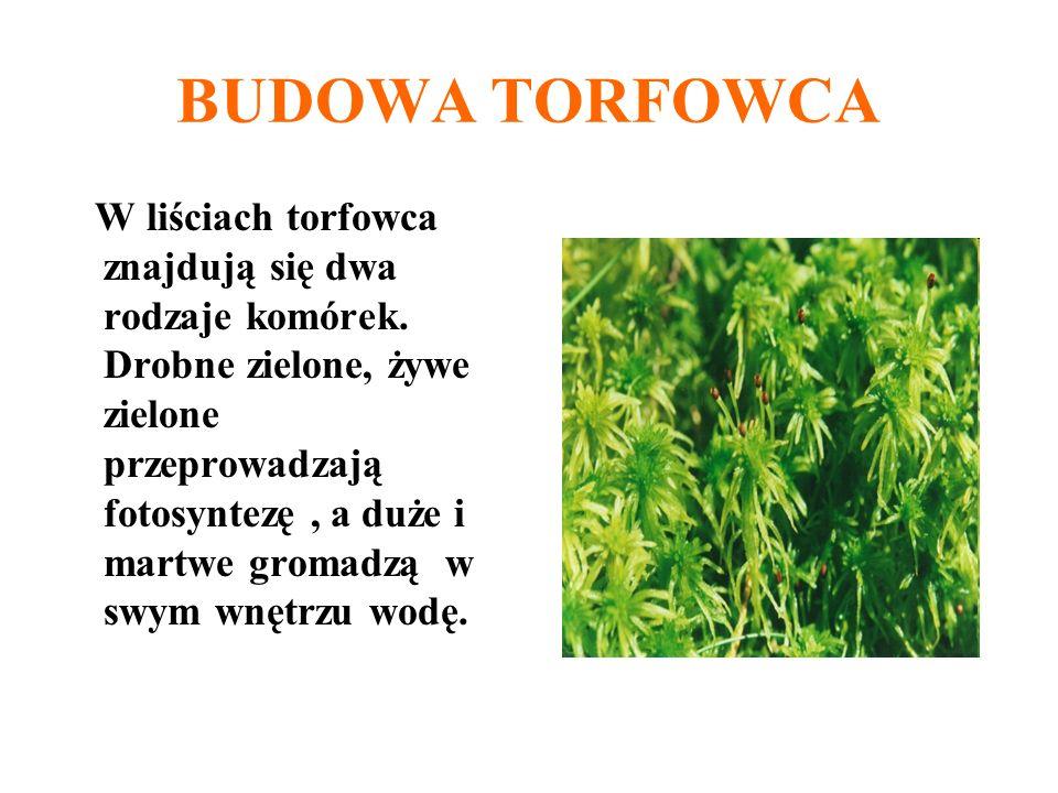 BUDOWA TORFOWCA W liściach torfowca znajdują się dwa rodzaje komórek. Drobne zielone, żywe zielone przeprowadzają fotosyntezę, a duże i martwe gromadz