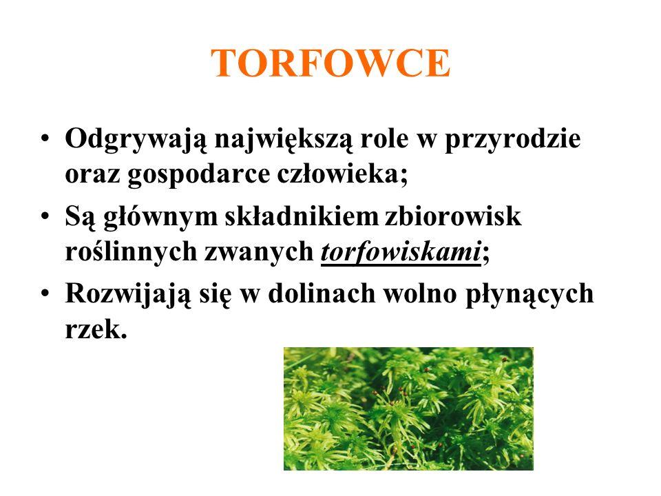 TORFOWCE Odgrywają największą role w przyrodzie oraz gospodarce człowieka; Są głównym składnikiem zbiorowisk roślinnych zwanych torfowiskami; Rozwijaj