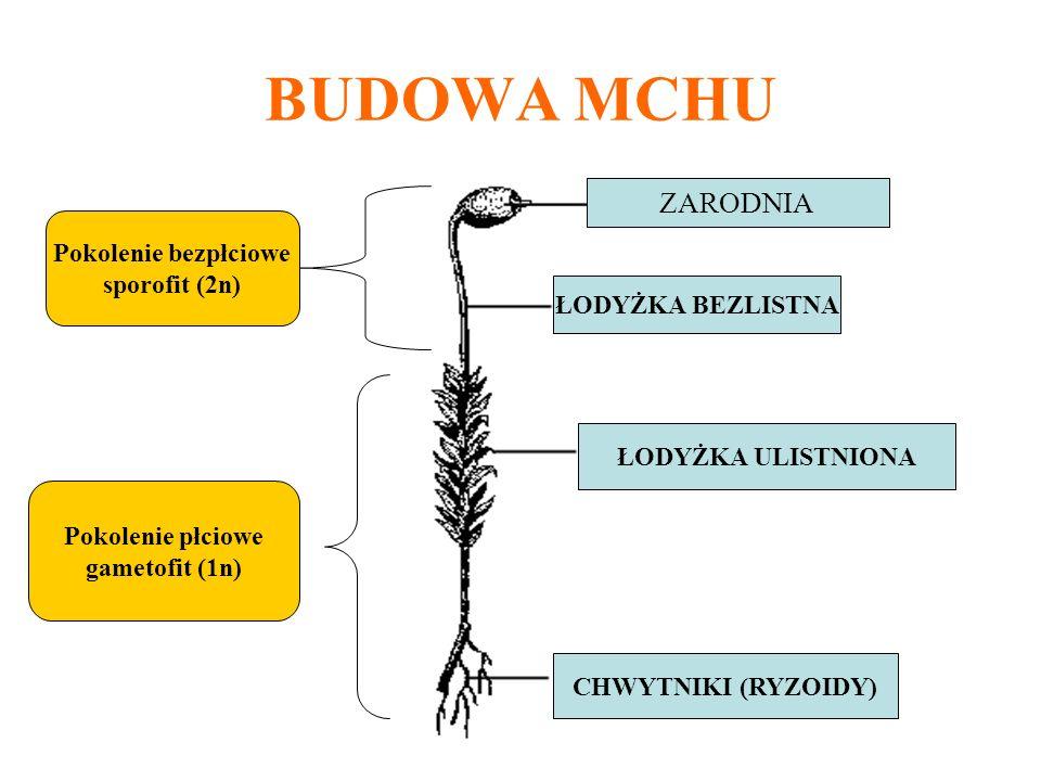 BUDOWA MCHU ZARODNIA ŁODYŻKA BEZLISTNA ŁODYŻKA ULISTNIONA CHWYTNIKI (RYZOIDY) Pokolenie bezpłciowe sporofit (2n) Pokolenie płciowe gametofit (1n)