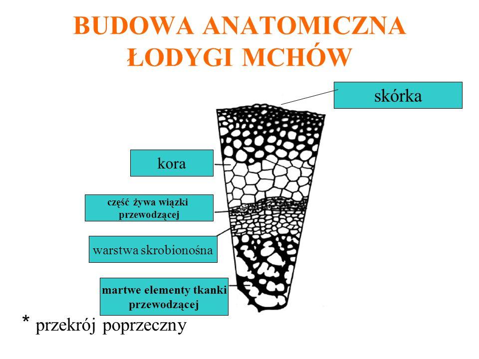 BUDOWA ANATOMICZNA ŁODYGI MCHÓW * przekrój poprzeczny kora część żywa wiązki przewodzącej warstwa skrobionośna martwe elementy tkanki przewodzącej skó