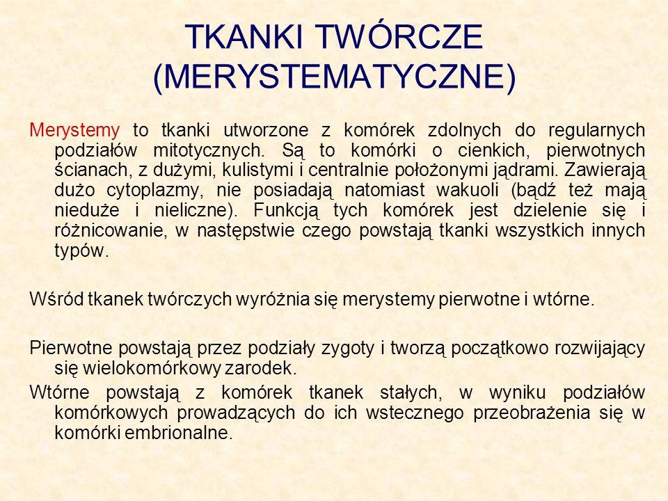 Wyróżniamy merystemy funkcjonujące przez cały czas życia rośliny czy organu (są to merystemy wzrostu nieograniczonego).