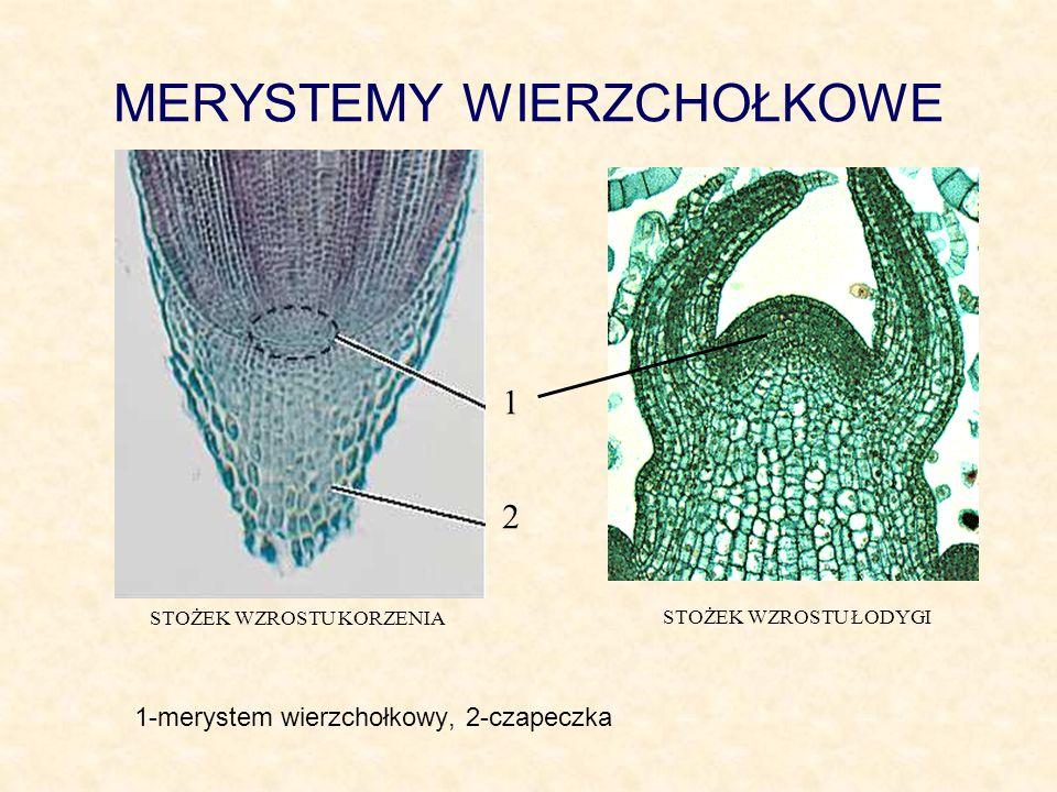 MERYSTEMY INTERKALARNE Merystemy interkalarne (wstawowe) rozmieszczone są wzdłuż łodygi w tak zwanych węzłach.