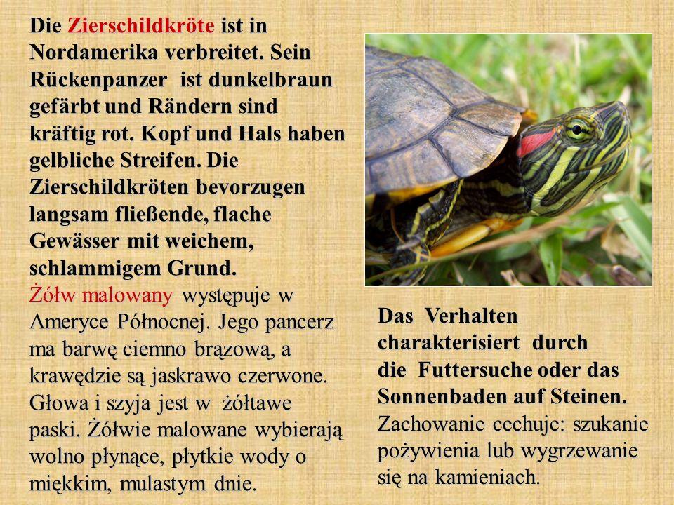 Die Zierschildkröte ist in Nordamerika verbreitet. Sein Rückenpanzer ist dunkelbraun gefärbt und Rändern sind kräftig rot. Kopf und Hals haben gelblic