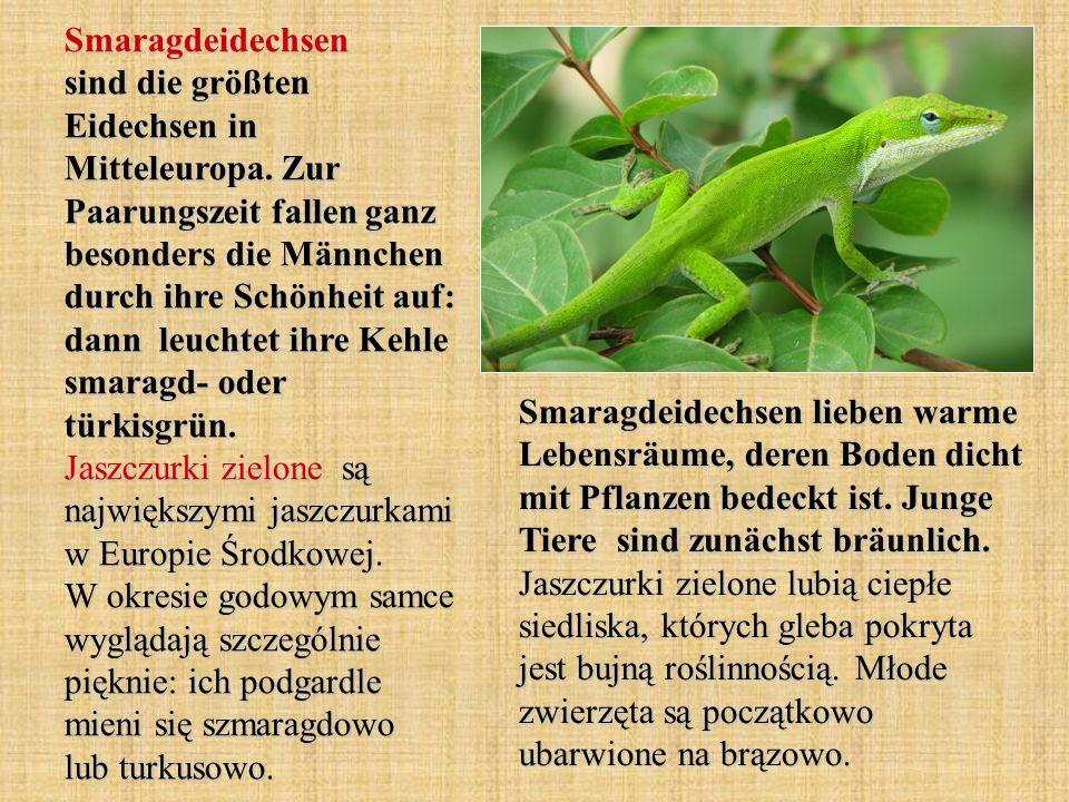 Smaragdeidechsen sind die größten Eidechsen in Mitteleuropa. Zur Paarungszeit fallen ganz besonders die Männchen durch ihre Schönheit auf: dann leucht