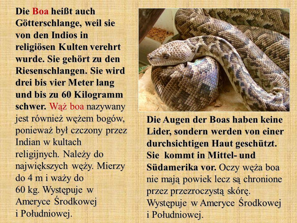 Die Boa heißt auch Götterschlange, weil sie von den Indios in religiösen Kulten verehrt wurde. Sie gehört zu den Riesenschlangen. Sie wird drei bis vi