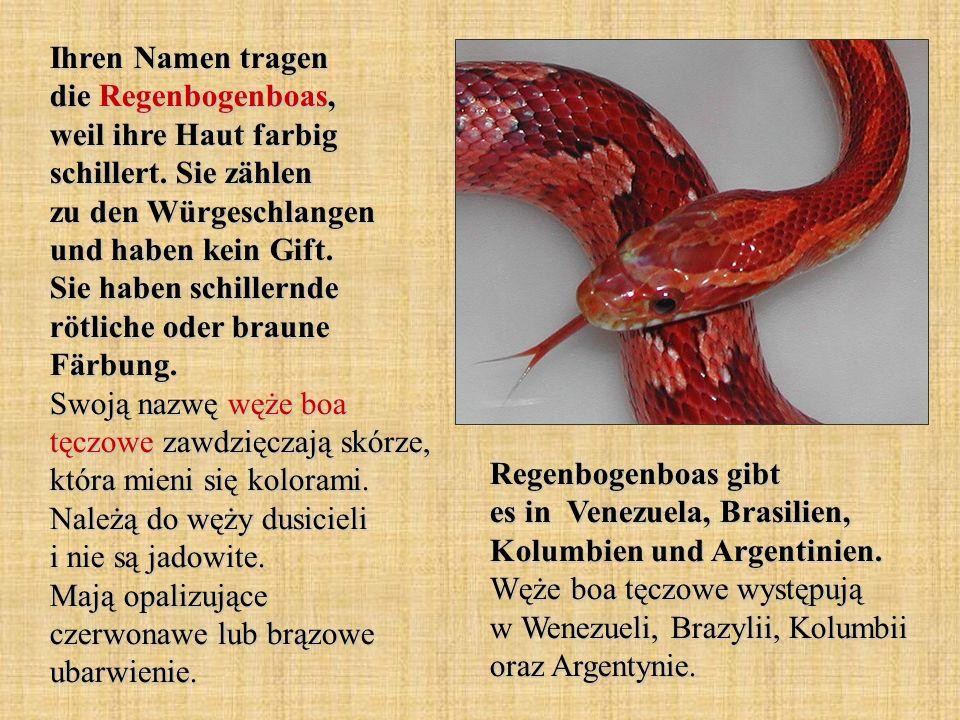 Ihren Namen tragen die Regenbogenboas, weil ihre Haut farbig schillert. Sie zählen zu den Würgeschlangen und haben kein Gift. Sie haben schillernde rö