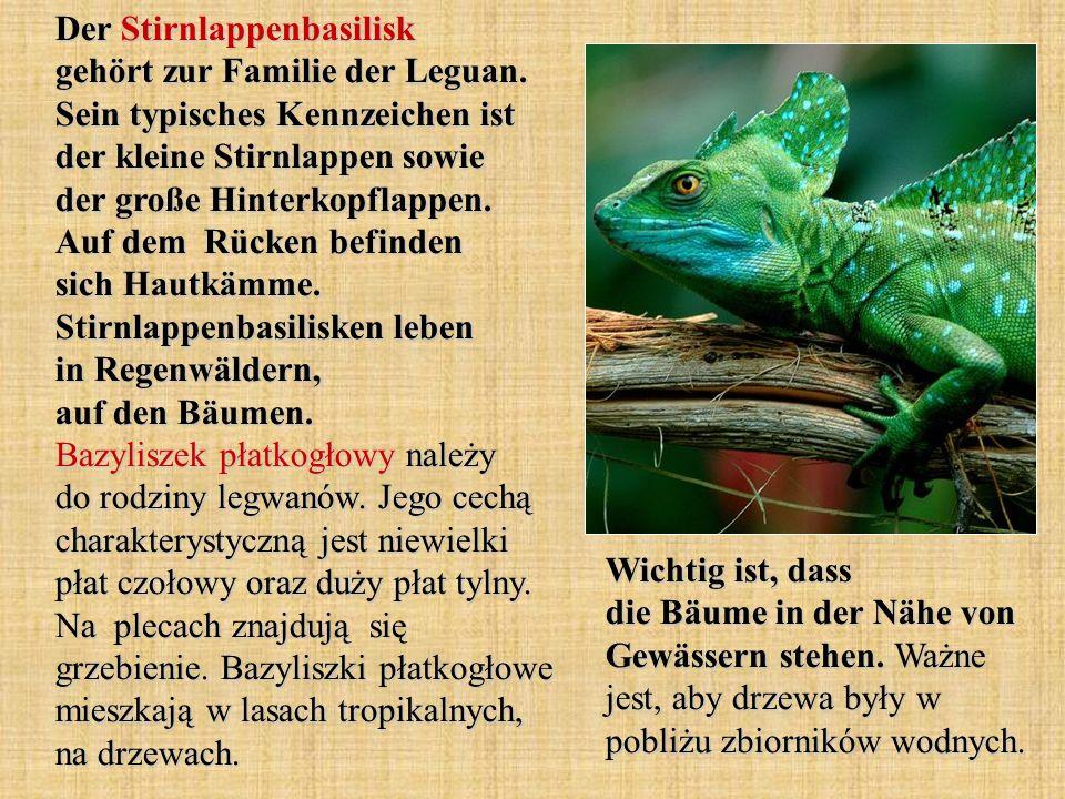 Der Stirnlappenbasilisk gehört zur Familie der Leguan. Sein typisches Kennzeichen ist der kleine Stirnlappen sowie der große Hinterkopflappen. Auf dem