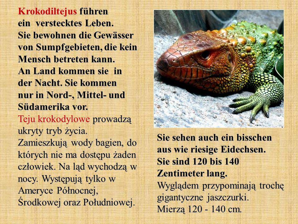 Krokodiltejus führen ein verstecktes Leben. Sie bewohnen die Gewässer von Sumpfgebieten, die kein Mensch betreten kann. An Land kommen sie in der Nach