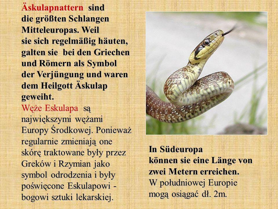 Äskulapnattern sind die größten Schlangen Mitteleuropas. Weil sie sich regelmäßig häuten, galten sie bei den Griechen und Römern als Symbol der Verjün