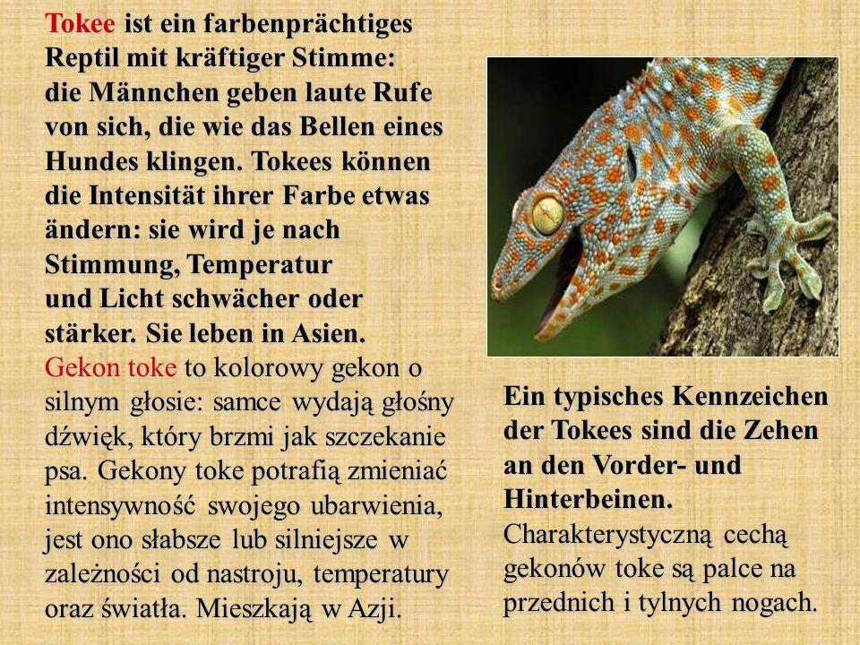 Tokee ist ein farbenprächtiges Reptil mit kräftiger Stimme: die Männchen geben laute Rufe von sich, die wie das Bellen eines Hundes klingen. Tokees kö