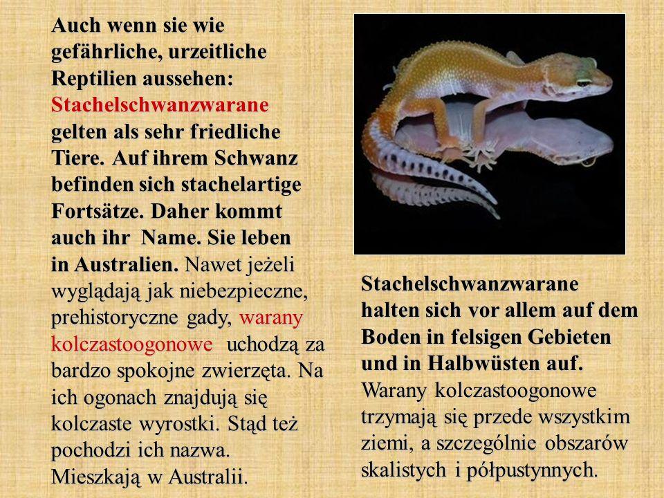 Auch wenn sie wie gefährliche, urzeitliche Reptilien aussehen: Stachelschwanzwarane gelten als sehr friedliche Tiere. Auf ihrem Schwanz befinden sich