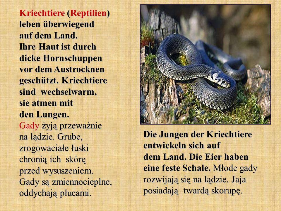 Kriechtiere (Reptilien) leben überwiegend auf dem Land. Ihre Haut ist durch dicke Hornschuppen vor dem Austrocknen geschützt. Kriechtiere sind wechsel