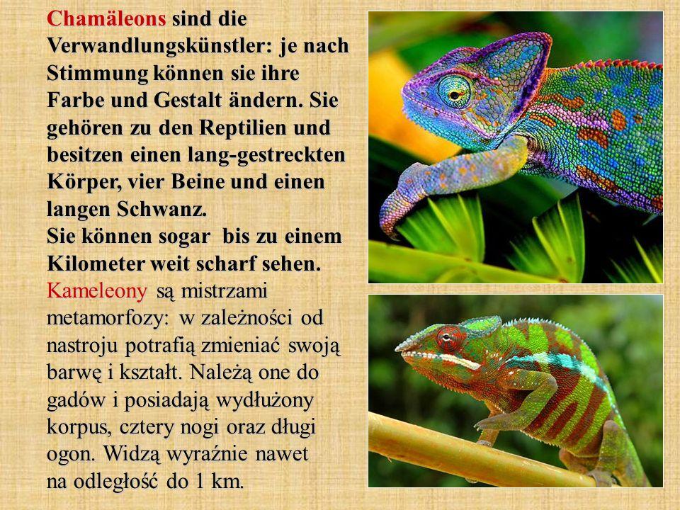 Chamäleons sind die Verwandlungskünstler: je nach Stimmung können sie ihre Farbe und Gestalt ändern. Sie gehören zu den Reptilien und besitzen einen l