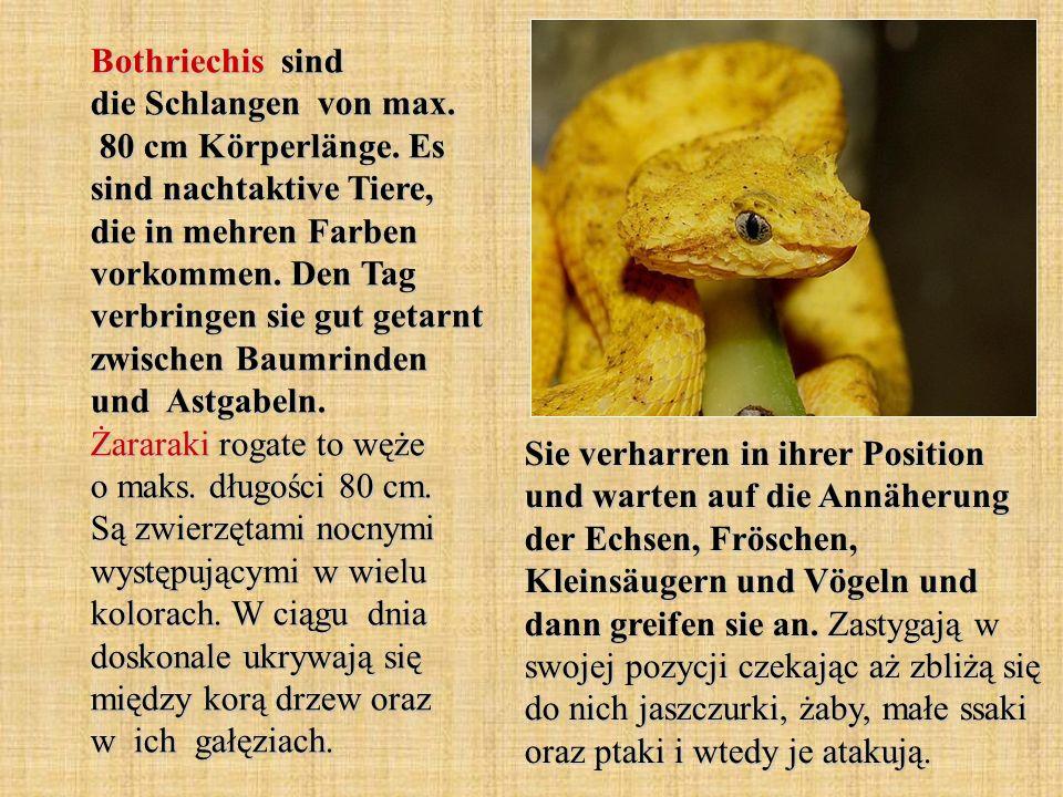 Bothriechis sind die Schlangen von max. 80 cm Körperlänge. Es sind nachtaktive Tiere, die in mehren Farben vorkommen. Den Tag verbringen sie gut getar