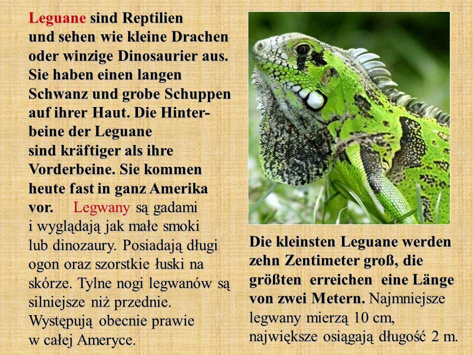 Leguane sind Reptilien und sehen wie kleine Drachen oder winzige Dinosaurier aus. Sie haben einen langen Schwanz und grobe Schuppen auf ihrer Haut. Di