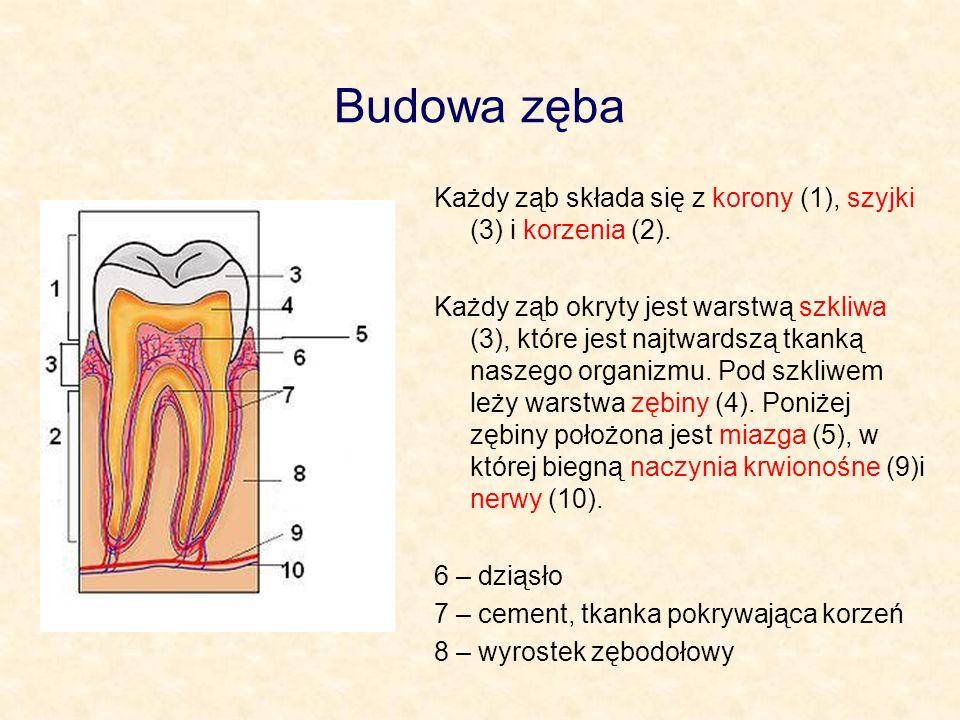 Budowa zęba Każdy ząb składa się z korony (1), szyjki (3) i korzenia (2). Każdy ząb okryty jest warstwą szkliwa (3), które jest najtwardszą tkanką nas