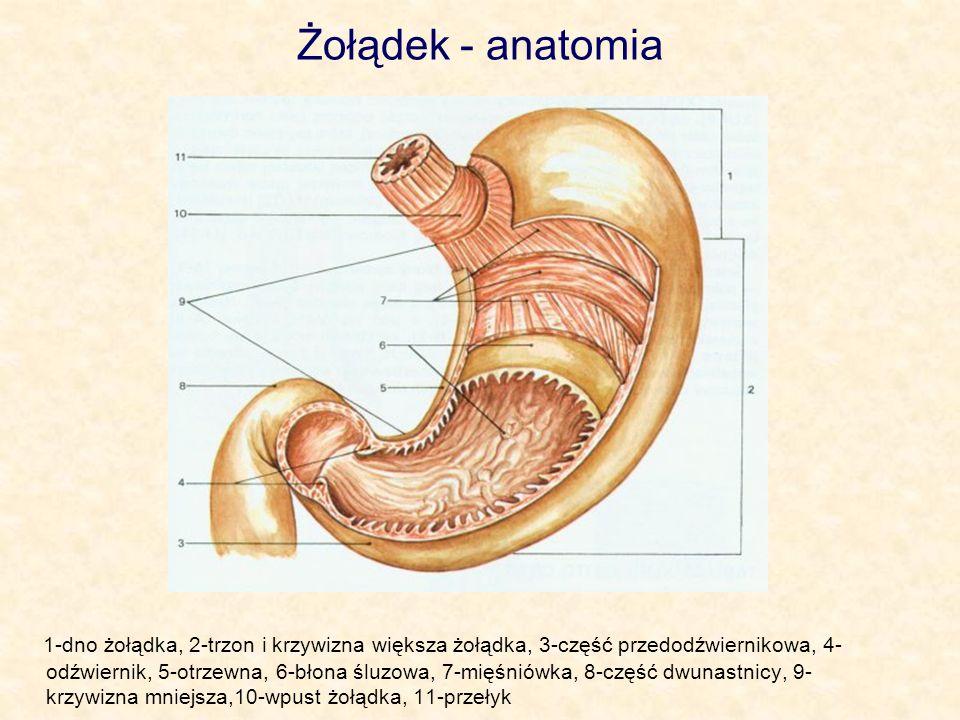 Żołądek - anatomia 1-dno żołądka, 2-trzon i krzywizna większa żołądka, 3-część przedodźwiernikowa, 4- odźwiernik, 5-otrzewna, 6-błona śluzowa, 7-mięśn