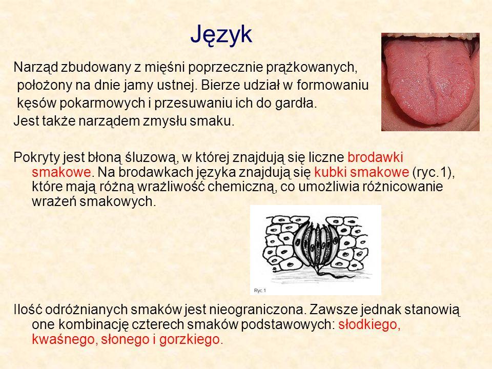 Język Narząd zbudowany z mięśni poprzecznie prążkowanych, położony na dnie jamy ustnej. Bierze udział w formowaniu kęsów pokarmowych i przesuwaniu ich
