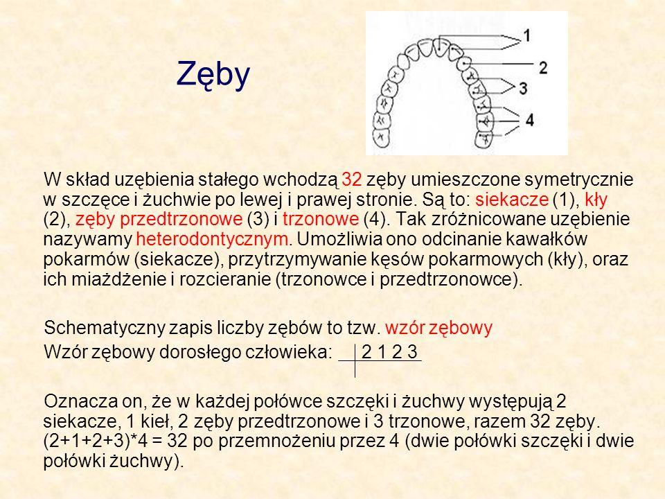 Zęby W skład uzębienia stałego wchodzą 32 zęby umieszczone symetrycznie w szczęce i żuchwie po lewej i prawej stronie. Są to: siekacze (1), kły (2), z