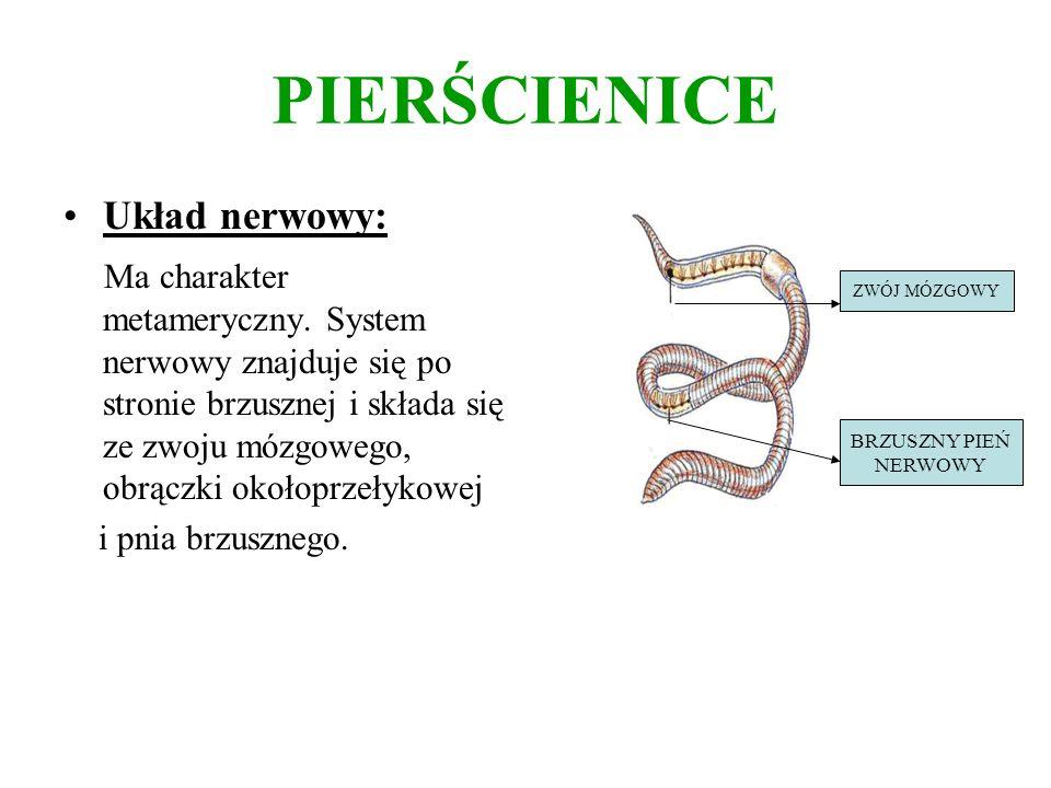 PIERŚCIENICE Układ nerwowy: Ma charakter metameryczny. System nerwowy znajduje się po stronie brzusznej i składa się ze zwoju mózgowego, obrączki okoł
