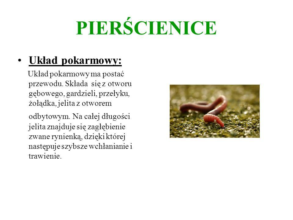 PIERŚCIENICE Pierścienice są drapieżnikami, pasożytami lub roślinożercami.