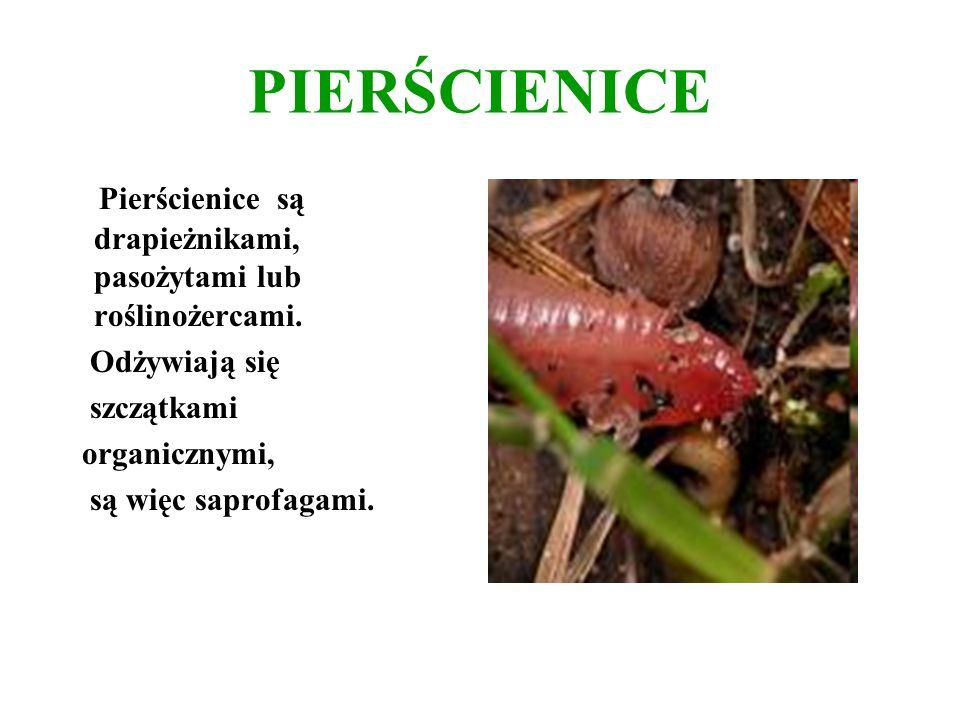 PIERŚCIENICE Pierścienice są drapieżnikami, pasożytami lub roślinożercami. Odżywiają się szczątkami organicznymi, są więc saprofagami.