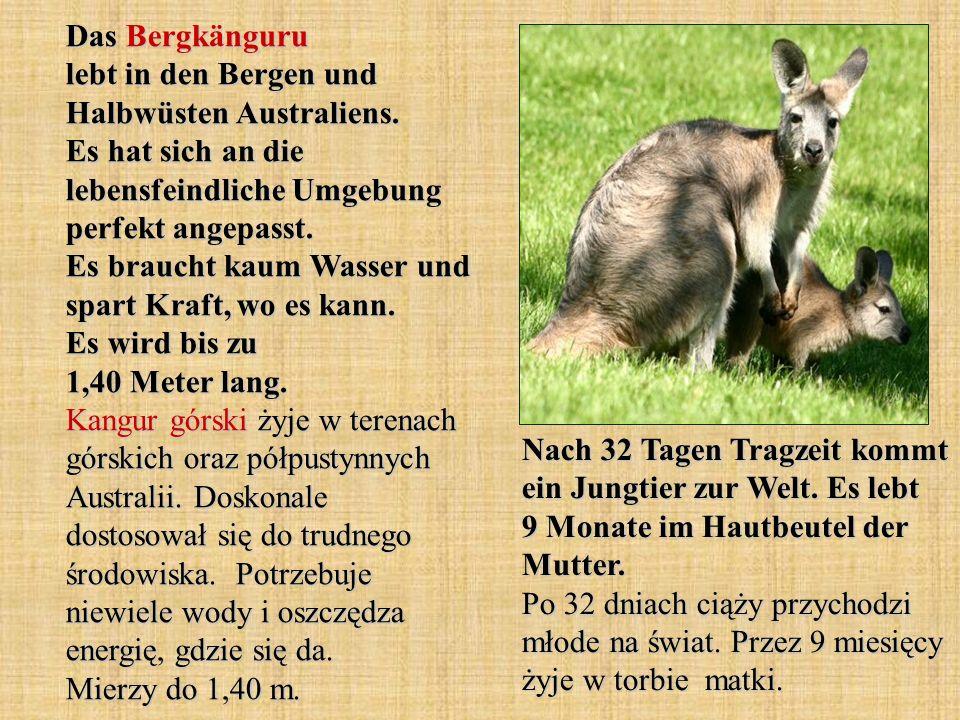 Das Bergkänguru lebt in den Bergen und Halbwüsten Australiens.