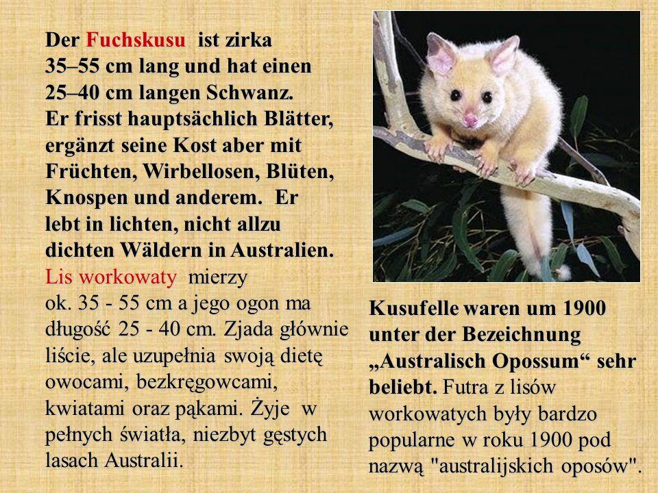 Der Fuchskusu ist zirka 35–55 cm lang und hat einen 25–40 cm langen Schwanz.