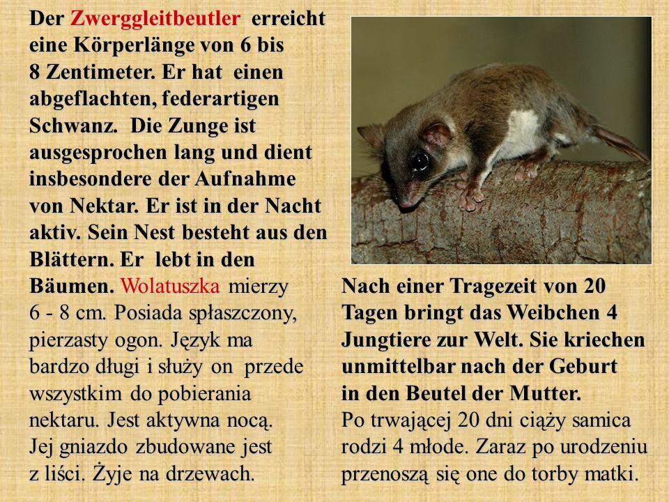 Der Zwerggleitbeutler erreicht eine Körperlänge von 6 bis 8 Zentimeter.
