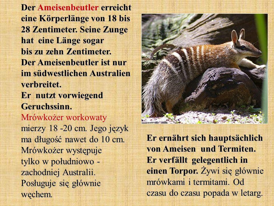 Der Ameisenbeutler erreicht eine Körperlänge von 18 bis 28 Zentimeter.