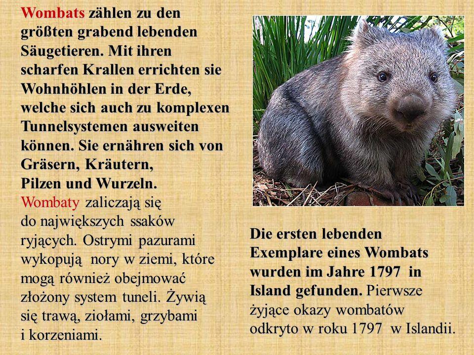 Wombats zählen zu den größten grabend lebenden Säugetieren.