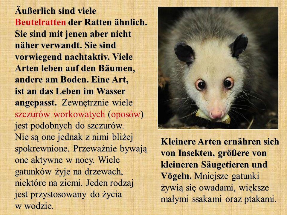Äußerlich sind viele Beutelratten der Ratten ähnlich.