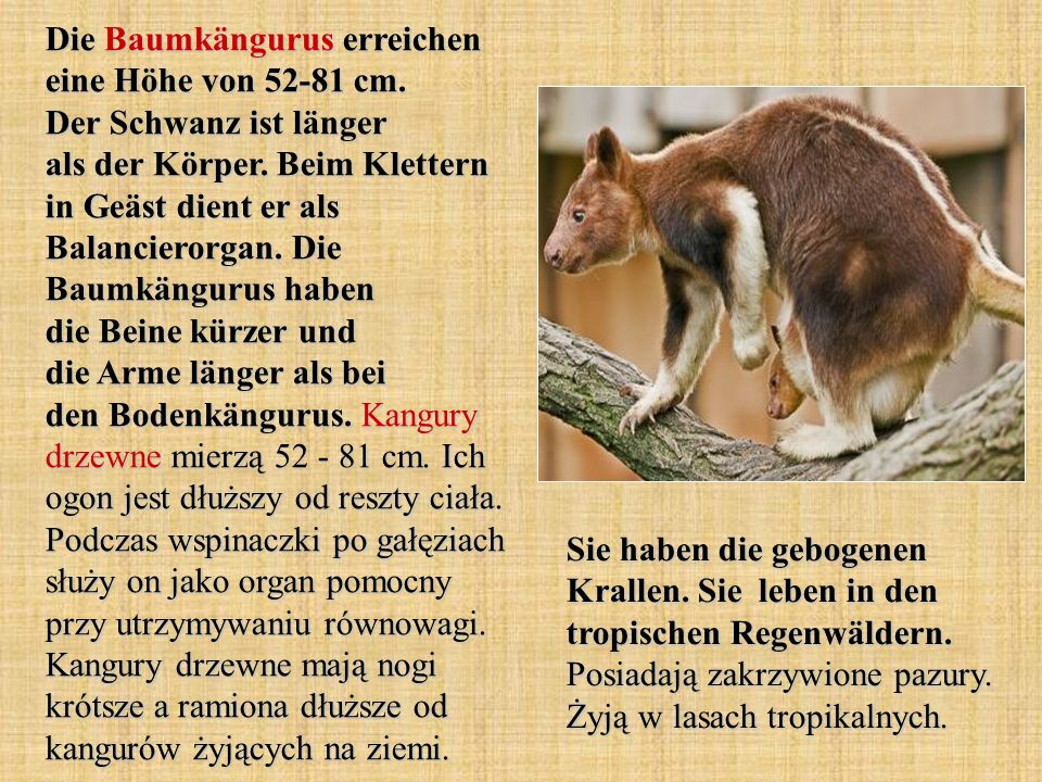 Moschusrattenkängurus leben in den tropischen Regenwäldern von Australien.