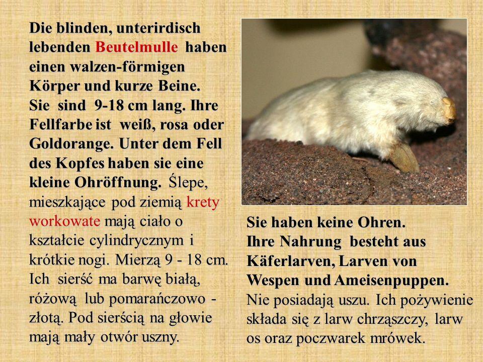 Die blinden, unterirdisch lebenden Beutelmulle haben einen walzen-förmigen Körper und kurze Beine.