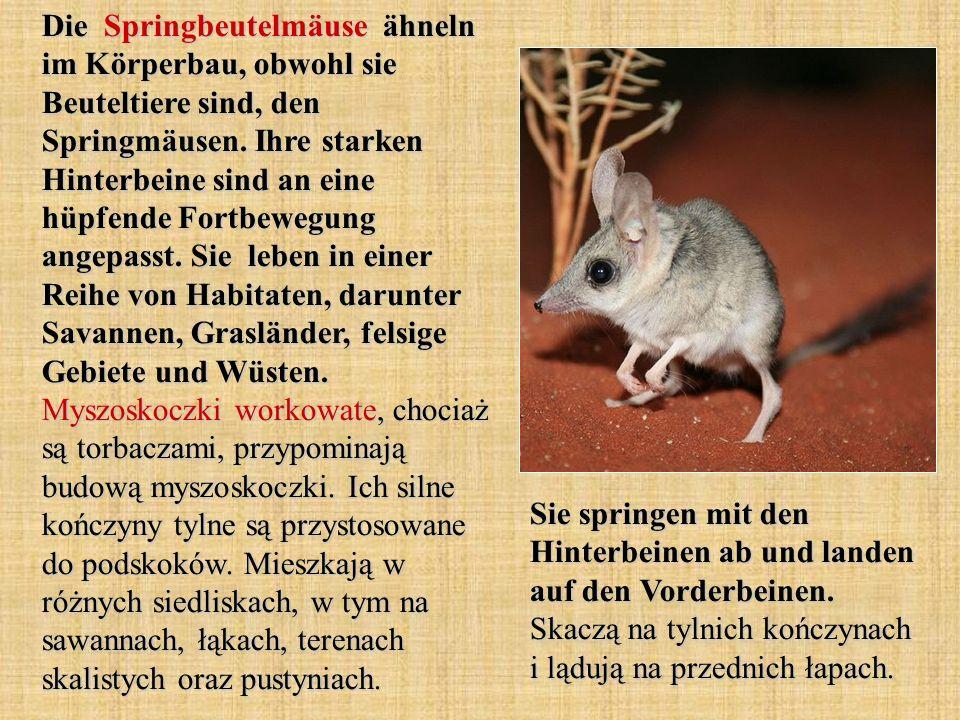 Die Springbeutelmäuse ähneln im Körperbau, obwohl sie Beuteltiere sind, den Springmäusen.