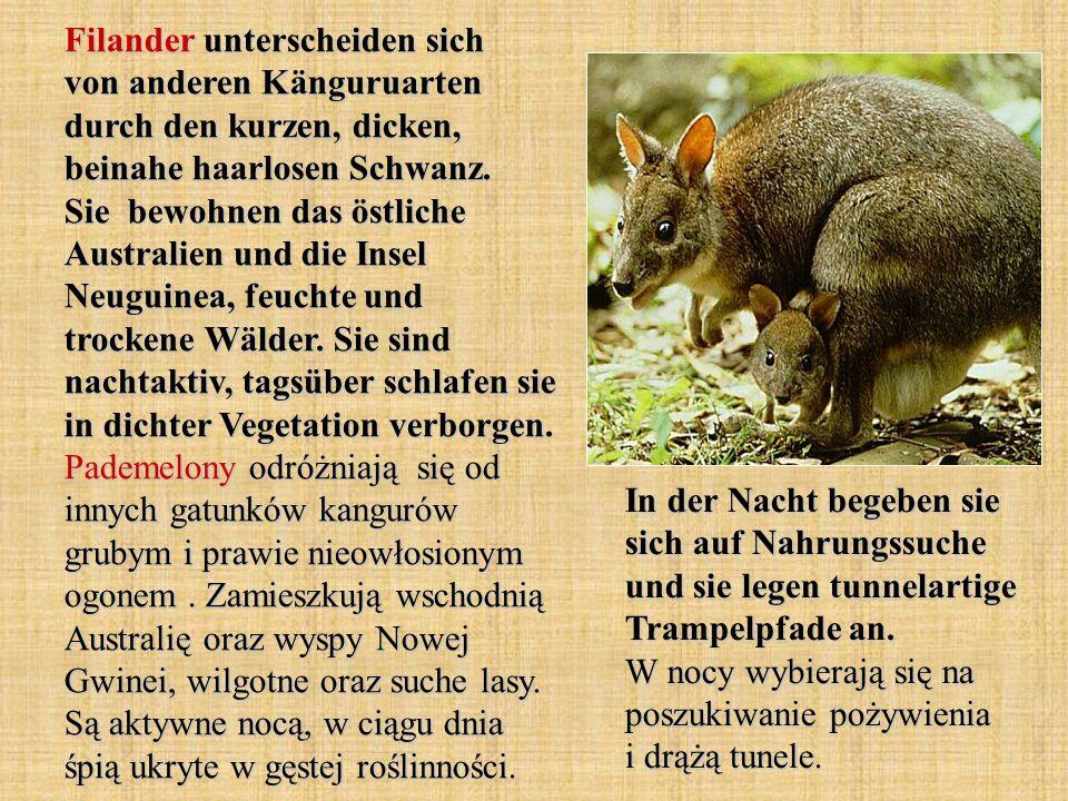 Das Südopossum ist etwa so groß wie eine Katze.Es ist in Mittel und Südamerika beheimatet.
