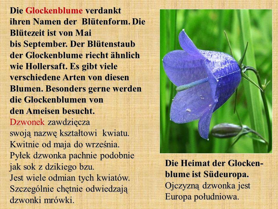 Die Glockenblume verdankt ihren Namen der Blütenform. Die Blütezeit ist von Mai bis September. Der Blütenstaub der Glockenblume riecht ähnlich wie Hol