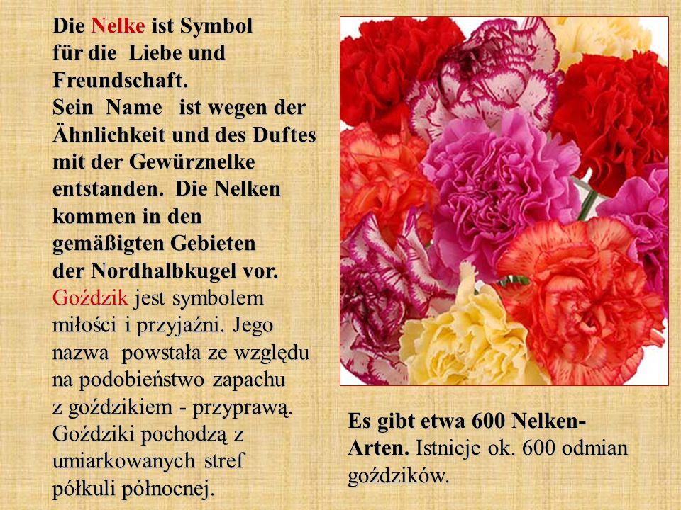 Die Nelke ist Symbol für die Liebe und Freundschaft. Sein Name ist wegen der Ähnlichkeit und des Duftes mit der Gewürznelke entstanden. Die Nelken kom