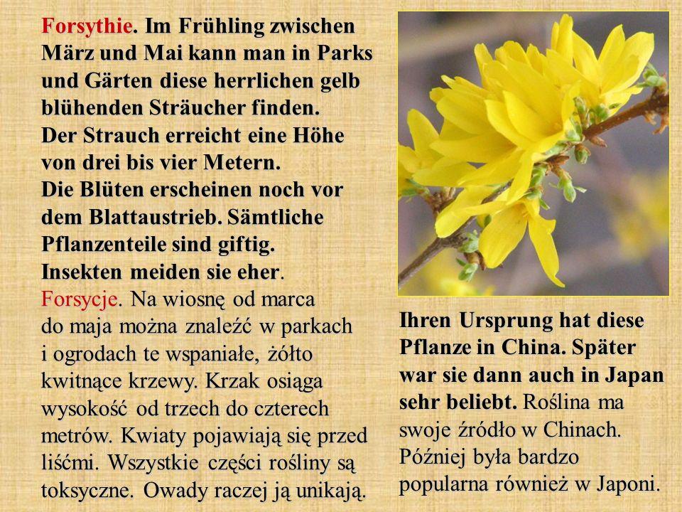 Forsythie. Im Frühling zwischen März und Mai kann man in Parks und Gärten diese herrlichen gelb blühenden Sträucher finden. Der Strauch erreicht eine