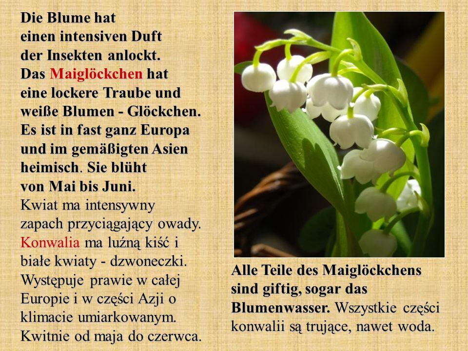 Die Blume hat einen intensiven Duft der Insekten anlockt. Das Maiglöckchen hat eine lockere Traube und weiße Blumen - Glöckchen. Es ist in fast ganz E