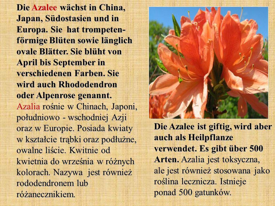 Die Azalee wächst in China, Japan, Südostasien und in Europa. Sie hat trompeten- förmige Blüten sowie länglich ovale Blätter. Sie blüht von April bis