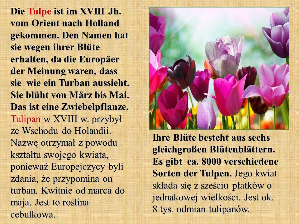Die Tulpe ist im XVIII Jh. vom Orient nach Holland gekommen. Den Namen hat sie wegen ihrer Blüte erhalten, da die Europäer der Meinung waren, dass sie