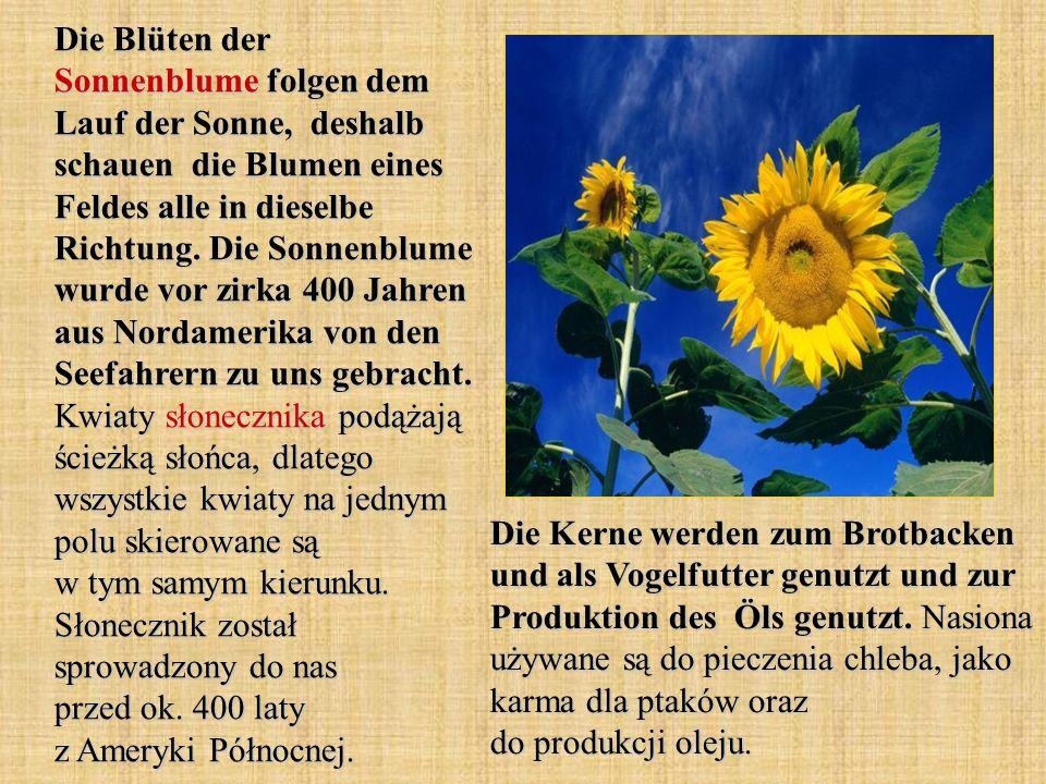 Die Blüten der Sonnenblume folgen dem Lauf der Sonne, deshalb schauen die Blumen eines Feldes alle in dieselbe Richtung. Die Sonnenblume wurde vor zir