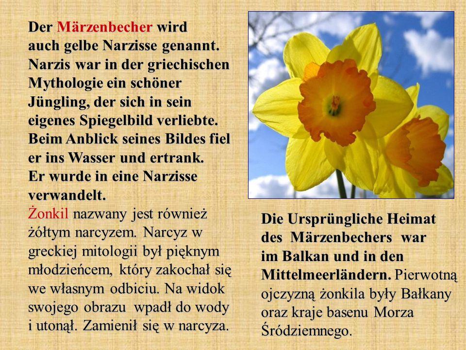 Der Märzenbecher wird auch gelbe Narzisse genannt. Narzis war in der griechischen Mythologie ein schöner Jüngling, der sich in sein eigenes Spiegelbil