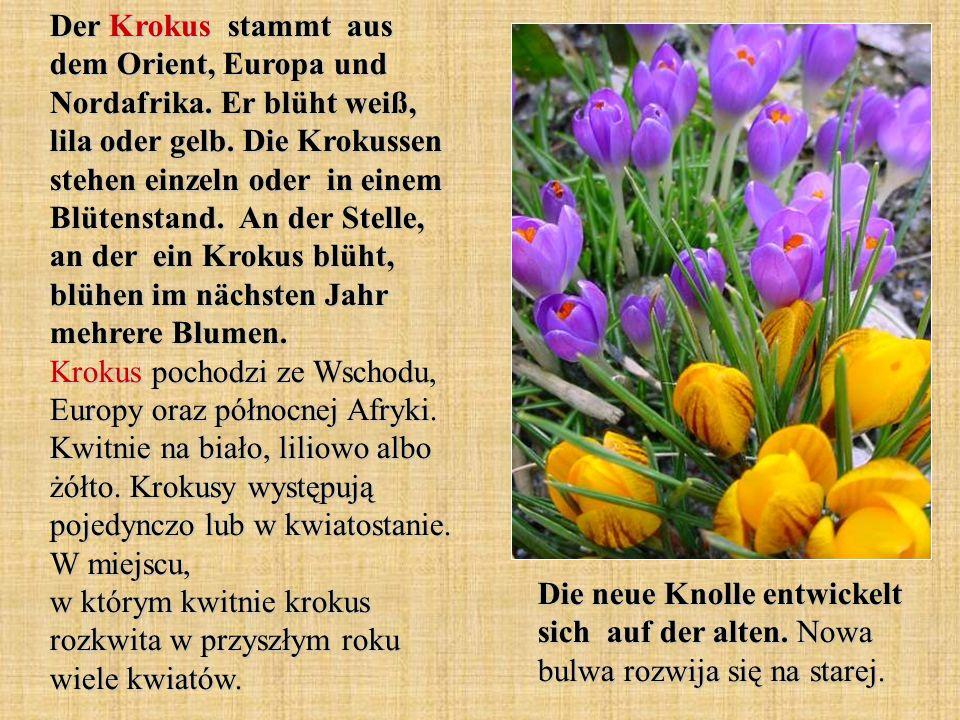 Der Krokus stammt aus dem Orient, Europa und Nordafrika. Er blüht weiß, lila oder gelb. Die Krokussen stehen einzeln oder in einem Blütenstand. An der
