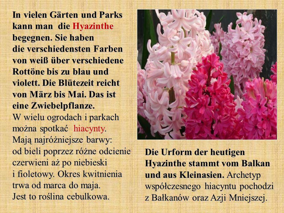 In vielen Gärten und Parks kann man die Hyazinthe begegnen. Sie haben die verschiedensten Farben von weiß über verschiedene Rottöne bis zu blau und vi