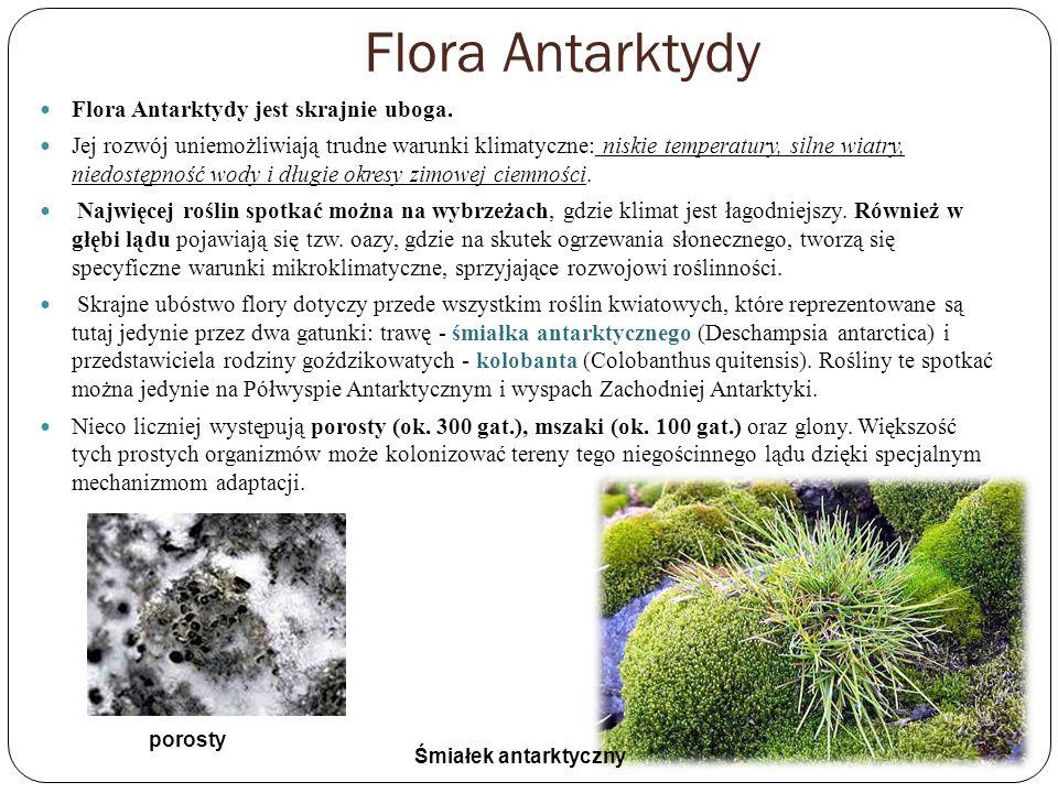 Flora Antarktydy Flora Antarktydy jest skrajnie uboga. Jej rozwój uniemożliwiają trudne warunki klimatyczne: niskie temperatury, silne wiatry, niedost