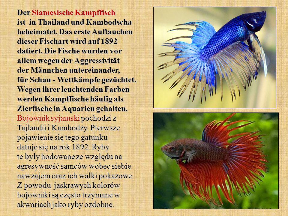 Der Siamesische Kampffisch ist in Thailand und Kambodscha beheimatet. Das erste Auftauchen dieser Fischart wird auf 1892 datiert. Die Fische wurden vo